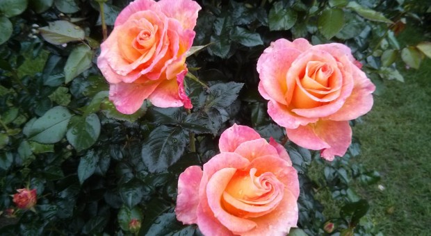 Roses from Washington Park in Portland, Oregon